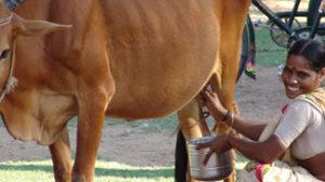 Cow Program for Poor Widows