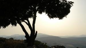 israel-tree